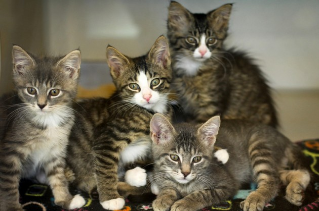 Adoptable Cats - SPCA Serving Erie County