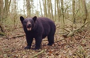 Black Bear sighting in Warren County NJ
