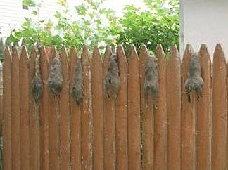 Dead squirrels found on the fence in Linden NJ