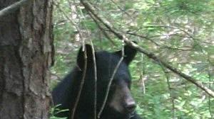 Bear in Greenwich, Connecticut