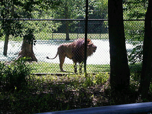 Lion at the Cape May Zoo (Staff Photo)