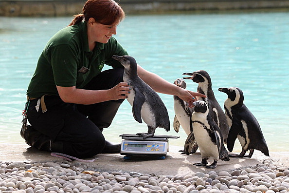 Zookeeper Vicky Fyson, at ZSL London Zoo, weighs and measures a penguin during the zoo's annual weigh-in. (Photo by Oli Scarff/Getty Images)