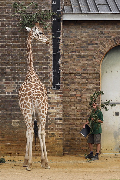 A zookeeper at ZSL London Zoo prepares to weigh and measure the giraffes during the zoo's annual weigh-in in London, England.  (Photo by Oli Scarff/Getty Images)