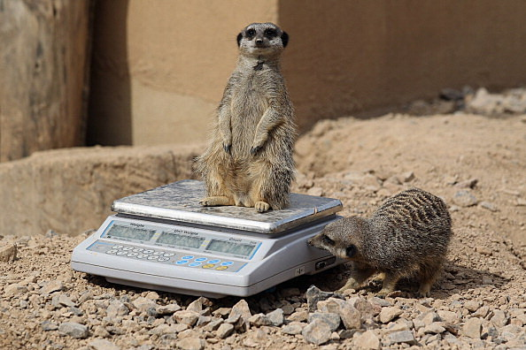 Meerkats are weighed and measured during the ZSL London Zoo 's annual weigh-in in London, England. (Photo by Oli Scarff/Getty Images)