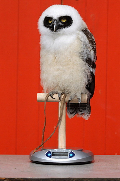 'Elton' the spectacled owl.  (Photo by Oli Scarff/Getty Images)