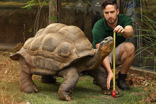 Zookeeper Grant Kother, at ZSL London Zoo, weighs and measures a giant tortoise. (Photo by Oli Scarff/Getty Images)