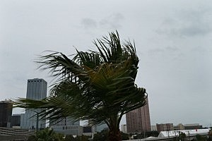 A palm tree blows in the wind in Tampa, Florida