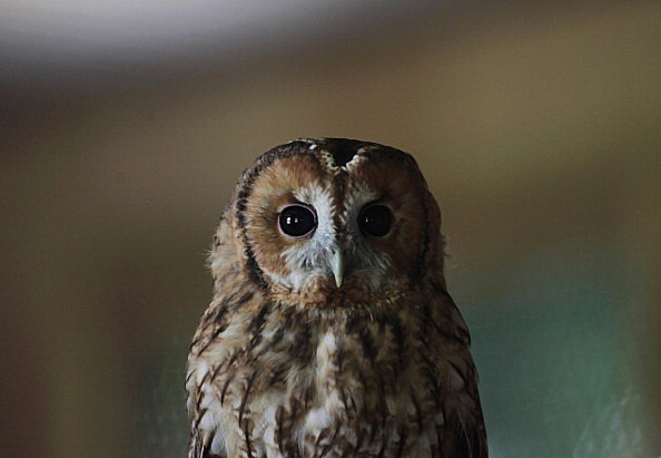 Rescued Baby Tawny Owls Prepare To Be Released Adorable baby owls  (Photo by Matt Cardy/Getty Images)