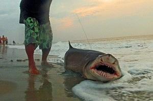Shark caught in Ocean City