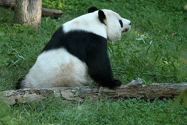 Washington's National Zoo Reveals Preliminary Findings In Death Of Baby Panda (Getty Images)