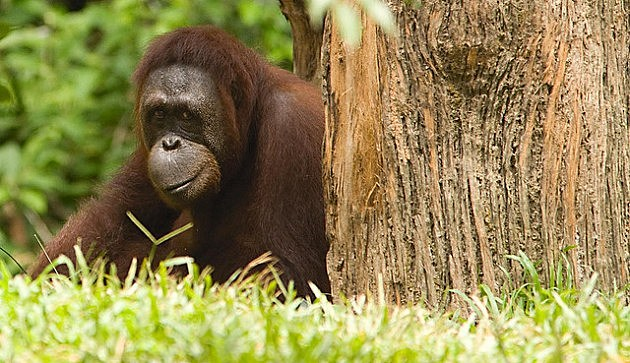Do Great Apes Suffer Mid-Life Crisis? (Flickr photo Chi King)