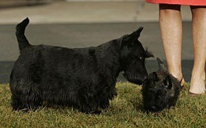 Presidential dog Barney (L) acquaints himself with Miss Beazley (R), the Scottish Terrier pup given to U.S. first lady Laura Bush as a birthday present by U.S. President George W. Bush in 2005
