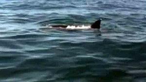 Shark attacks a dolphin off Atlantic City
