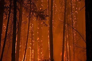 Flames from the Rim Fire consume trees near Groveland, California.