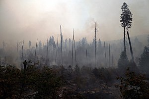 Trees burned by the Rim Fire stand in Yosemite National Park