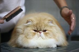 Tizian, a persian cat
