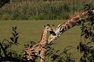 New baby giraffe at Cape May County Zoo