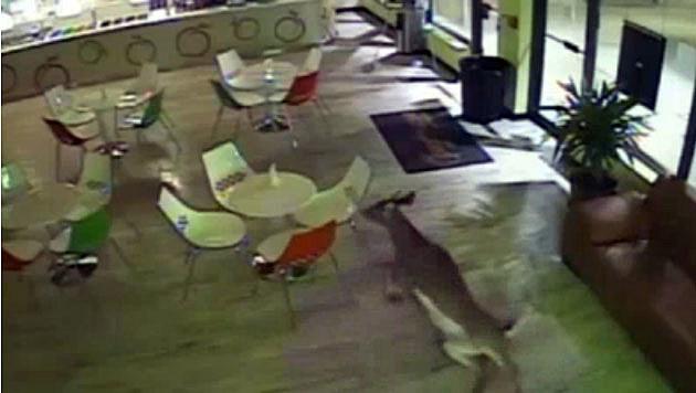 Video surveillance of deer inside Holmdel frozen yogurt shop
