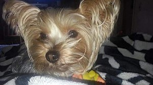 Yorkshire Terrier stolen from a Dover woman by her date.