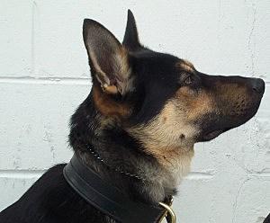 Gunner, a K-9 with Tuckerton Police