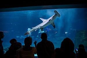 People watch a hammerhead shark swim at Adventure Aquarium