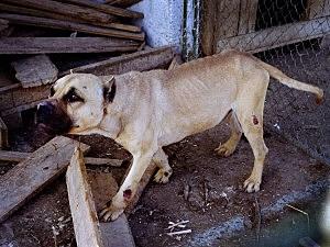 dog fighting, pit bull