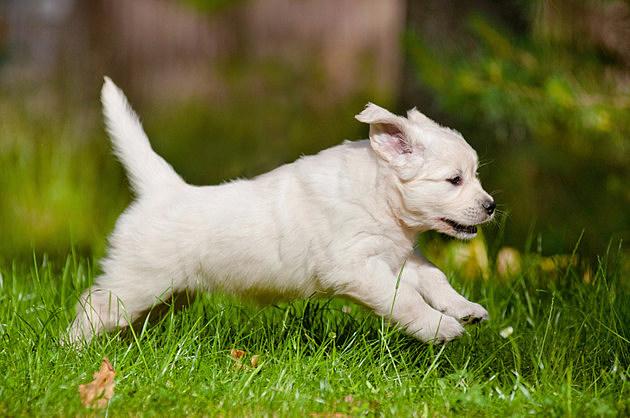 golden retriever puppy running outdoors