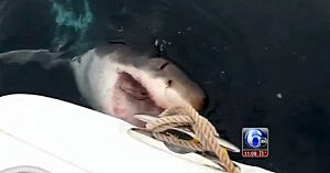 Great white shark alongside a boat off Cape May