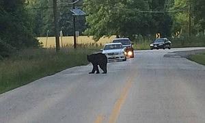 A bear in Mount Laurel