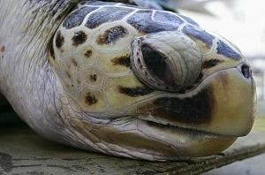 177kg Turtle Relocates To Sydney Aquarium