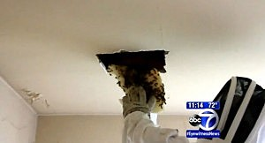 A worker removes bees from the ceiling of a Queens apartment