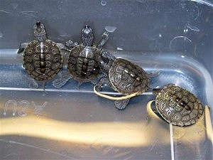 Baby diamondback terrapin turtles swim in a container at the marine