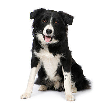 Border Collie Breed (9 months) in front of a white background
