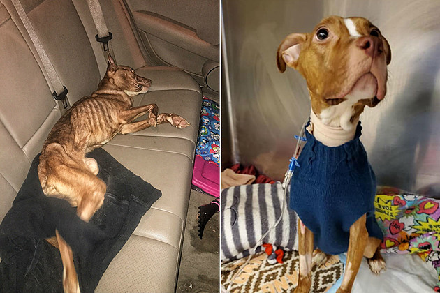 """""""Reese"""" on slow recovery from near-starvation (courtesy Ramapo-Bergen Animal Refuge) pitbull found in Paterson"""